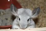 Süße Tiere - Süße Tier Art - Das Chinchilla - Foto 2