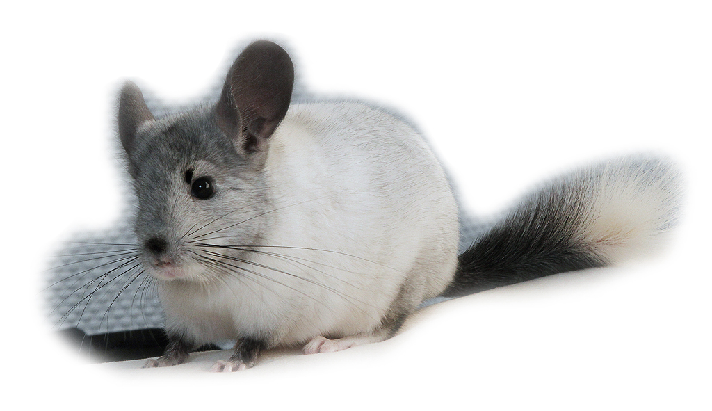 Chinchilla pictures