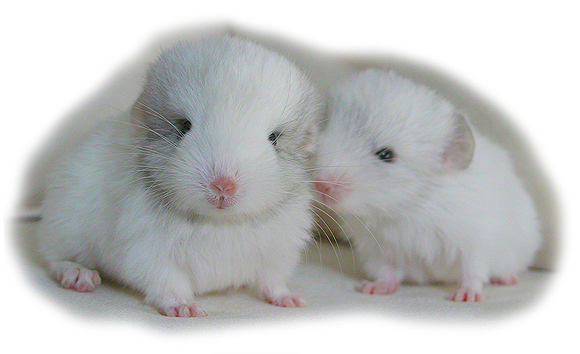 Chinchilla babies pictures